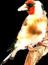 قسم طائر الحسون