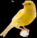 قسم طيور الكناري