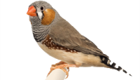 قسم طائر الزيبرا فينش
