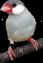قسم طائر الجاوا فينش