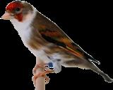 قسم التهجين بين طيور الزينة الصغيرة
