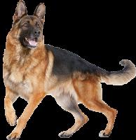 قسم الكلاب